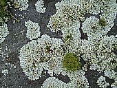 lichens on roof slates