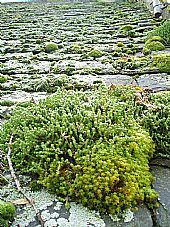 moss and stonecrop on East Church roof slates