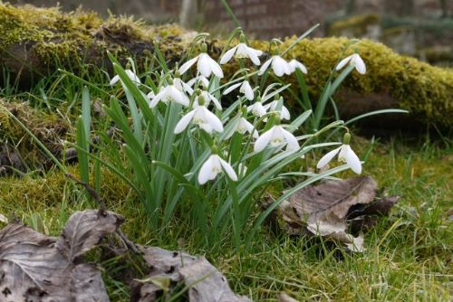 Snowdrops at the East Church Cromarty
